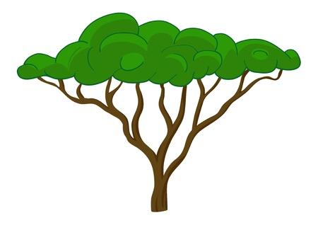 acacia: Tree isolated on white