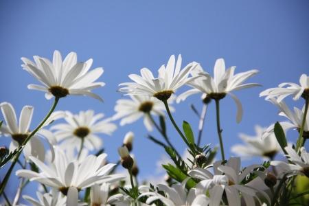 chamomile, flowers on sky background Stock Photo - 18502969