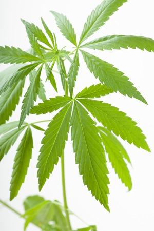 Young cannabis plant, marijuana, isolated on white background photo