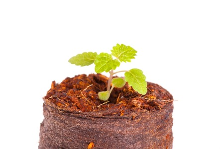 Young sprout in peat tablet, mint plant, isolated on white background photo