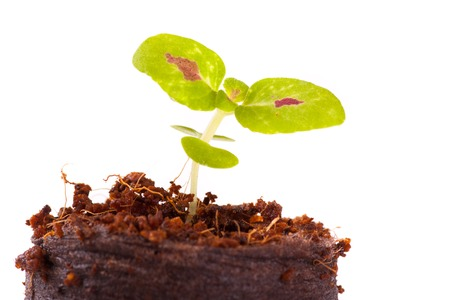 Young sprout in coco substrate, coleus plant, isolated on white background photo