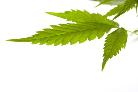 Young cannabis plant, marijuana, isolated on white background photo