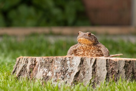 anuran: frog on the tree stump and green grass Stock Photo