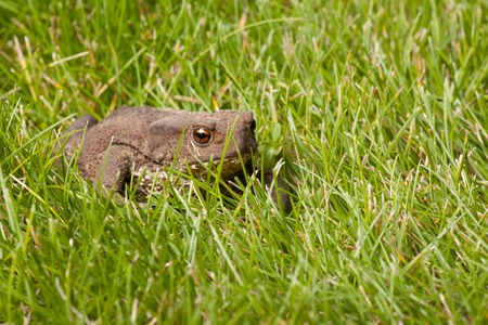 anuran: Gray frog sitting on green grass Stock Photo