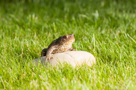 anuran: the frog is sitting on a stone in green grass Stock Photo