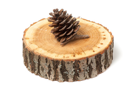 coniferous tree: cedar cone on wood slice, isolated on white