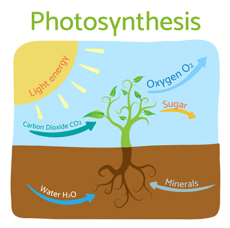 photosynthesis: Photosynthesis diagram. Schematic illustration of the photosynthesis process. Illustration