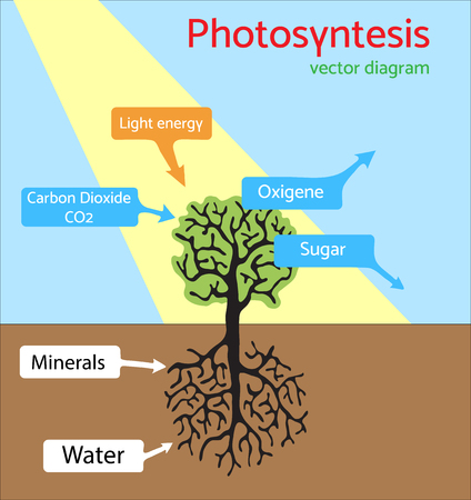 Photosynthesis process in plant diagram with all factors and photosynthesis diagram schematic illustration of the photosynthesis process vector ccuart Gallery