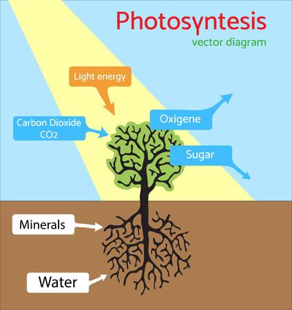 Schema di fotosintesi. illustrazione schematica del processo di fotosintesi.