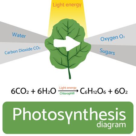 diagrama de la fotosíntesis. Ilustración esquemática del proceso de fotosíntesis. Ilustración de vector