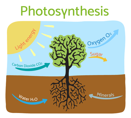 schematic diagram: Photosynthesis diagram. Schematic illustration of the photosynthesis process. Illustration