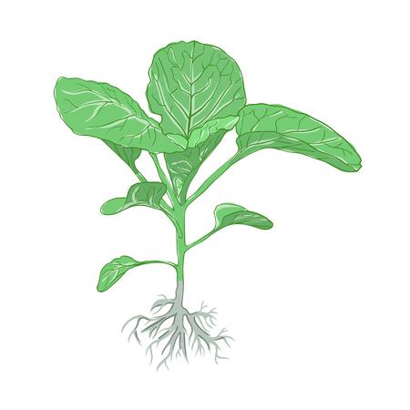 raices de plantas: planta de la col verde con la raíz, aislado en fondo blanco