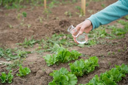 scientific farming: Female hand with a test tube and salad plant. Fertilizer in laboratory glassware.