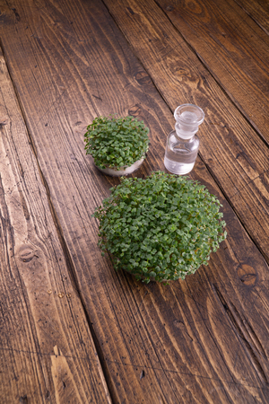 Microgreens in round container and small glass vials on wooden table. Sprouts, microgreens, healthy eating concept. Science, biology. Stockfoto