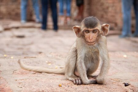 Cute baby monkey playing on the side of the road. Macaque portrait. Monkey life among people in Asia.
