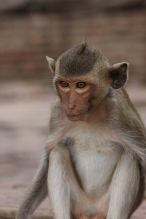 Monkey playing on the side of the road. Macaque portrait. Monkey life among people in Asian cities. Фото со стока