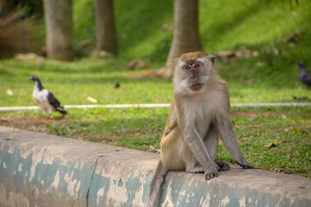 Macaque monkey sitting by the park road, with a bird strolling on the background. Stock Photo