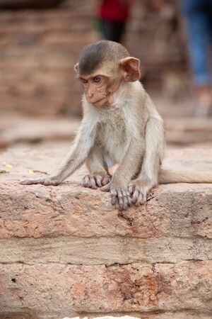 Cute baby monkey playing on the side of the road. Macaque portrait. Monkey life among people in Asian cities. Stock Photo