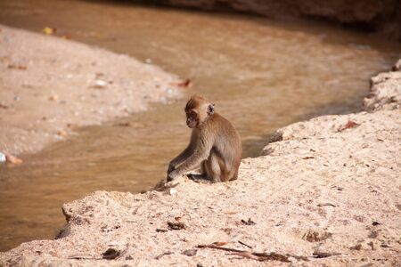 Monkey sitting by the water on the sand beach. Wildlife nature scene.