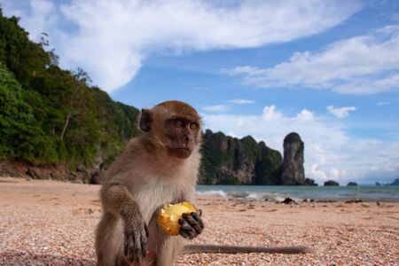 A close-up portrait of a long-tailed macaque on a beach sitting and eating fruit.