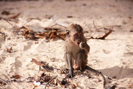 Wet macaque monkey sitting by the water on the sand beach. Wildlife nature scene.