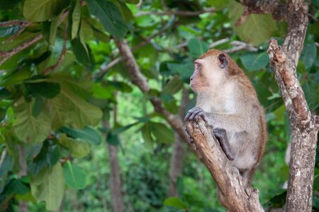 Monkey in the jungle. Macaque sitting on a tree, in its natural habitat in Thailand. Wildlife scene from Asia.