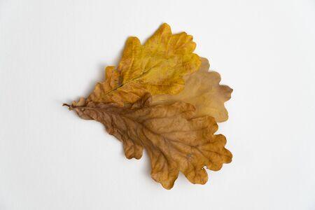 Oak tree leaves isolated on white background Banco de Imagens