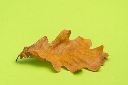 Oak tree leaf isolated on green background