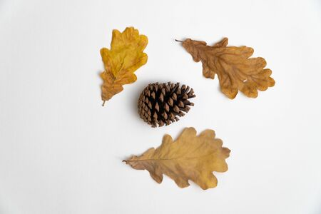 Oak tree leaves and a pine cone isolated on white background