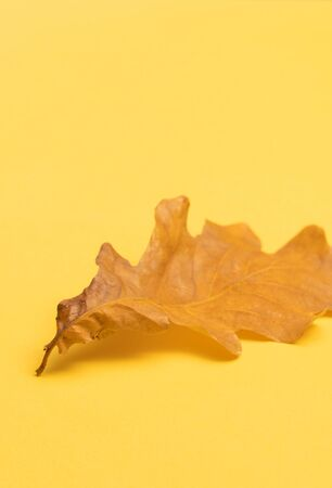 Oak tree leaf isolated on yellow background