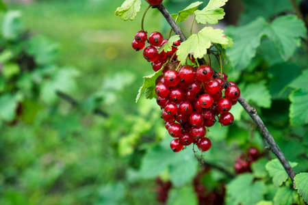 Clusters of red currants on branch