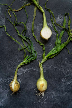 Organic onions with leaves on dark textured surface. Onions background. Bulb onions, green spring. Top view.
