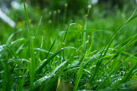 Green grass with dew drops, lawn after rain.