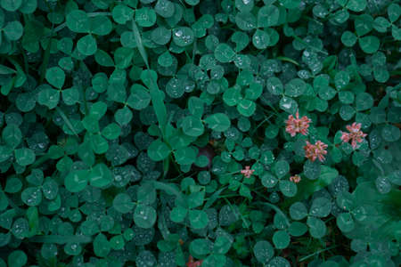Green clover carpet with dew drops, top view. Reklamní fotografie