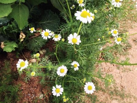coneflowers: White flowers in Monjam  Chiangmai Thailand Stock Photo