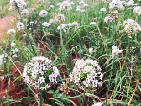 detail: White flowers in Monjam  Chiangmai Thailand Stock Photo