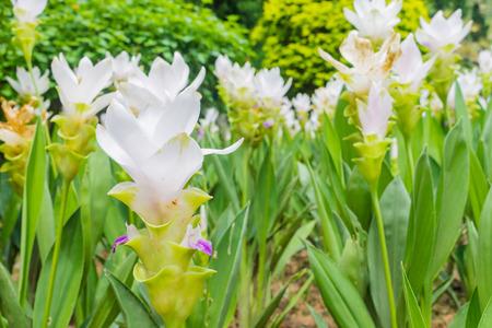 siam: Siam Tulip, the beautiful flower in Thailand Stock Photo