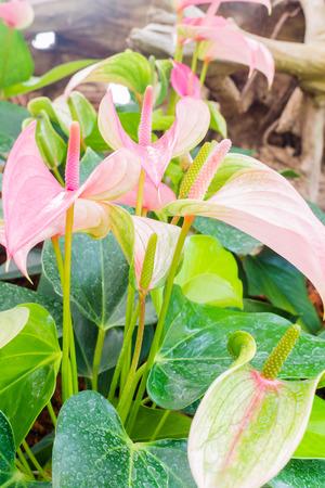 spadix: Flamingo flowers Stock Photo