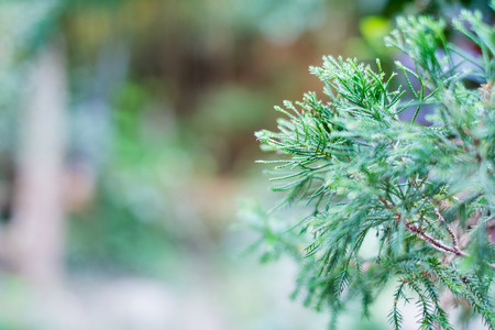piny: Closeup picture of pine tree branch