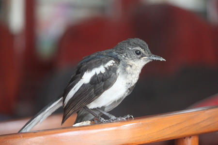 newest: Newest family member, magpie robin Stock Photo