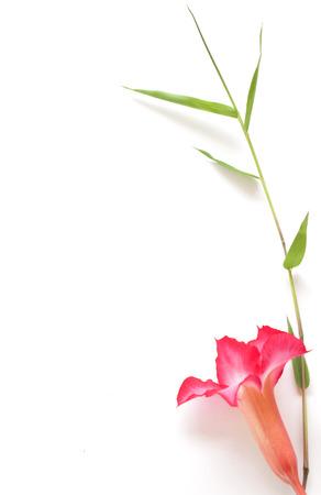 obesum balf adenium: impala lilyand Bamboo leaves on white background