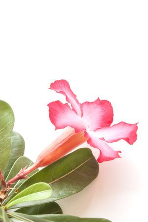 obesum balf adenium: impala lily on white background