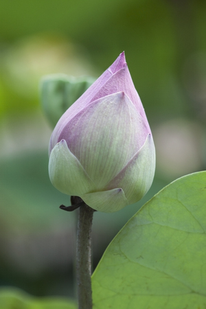 Close up of pink white lotus flower bud with green lotus leaf and lotus leaf blurred background.