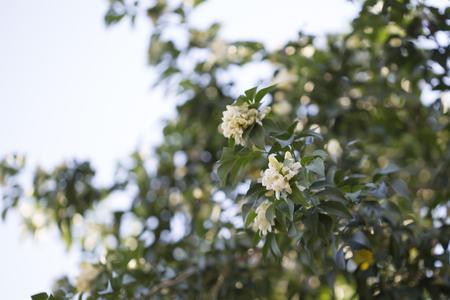 jessamine: Orange jessamine tree and flowers.