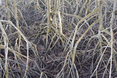 mangroves: mangroves roots south of thailand