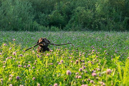 Brown Labrador is running with his stick through a field of flowers. Dog is having while playing fetch Stock Photo