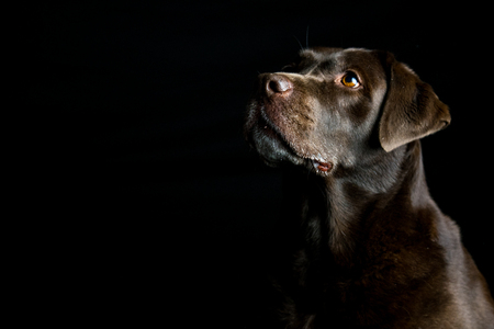 portrait of an cute brown labrador, on a black background