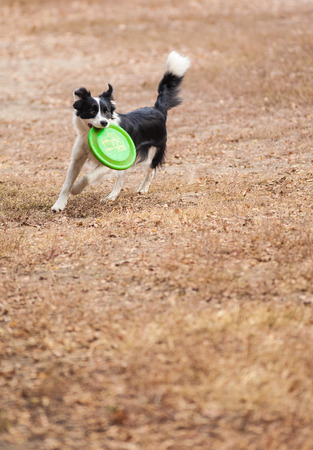 Border collie dog playing with a frisbee photo