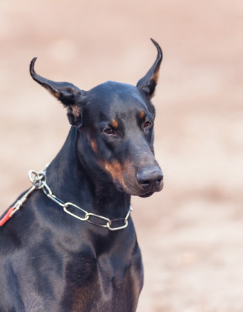 stern but kind Doberman photo