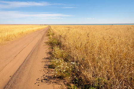 wheat field on a sunny autumn day in the Kazakh steppe photo